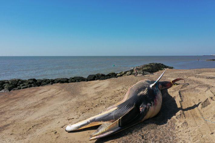Obwohl auch gesunde Wale manchmal stranden, sind viele Wale, die an Land gespült werden, entweder krank ...