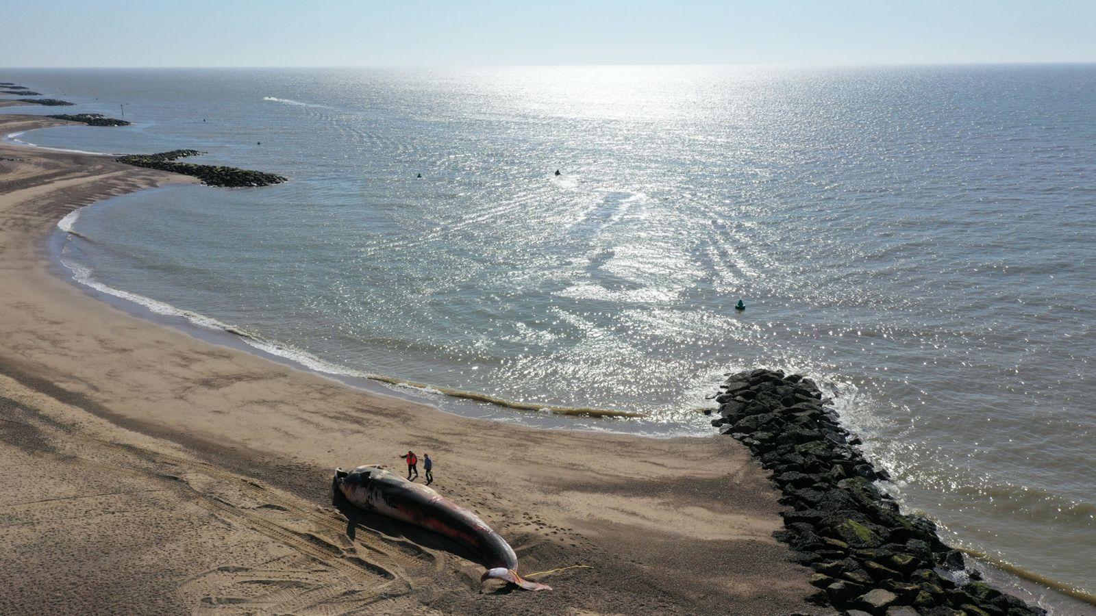 An den flachen Küsten der Nordsee kommt es häufig zu Walstrandung, aber insgesamt sind sie ein ...