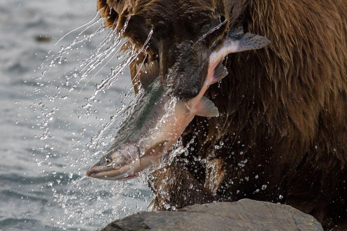 Nachdem er hunderte Kilometer stromaufwärts geschwommen ist, endet die Reise dieses Lachses im Maul eines Grizzlybären ...