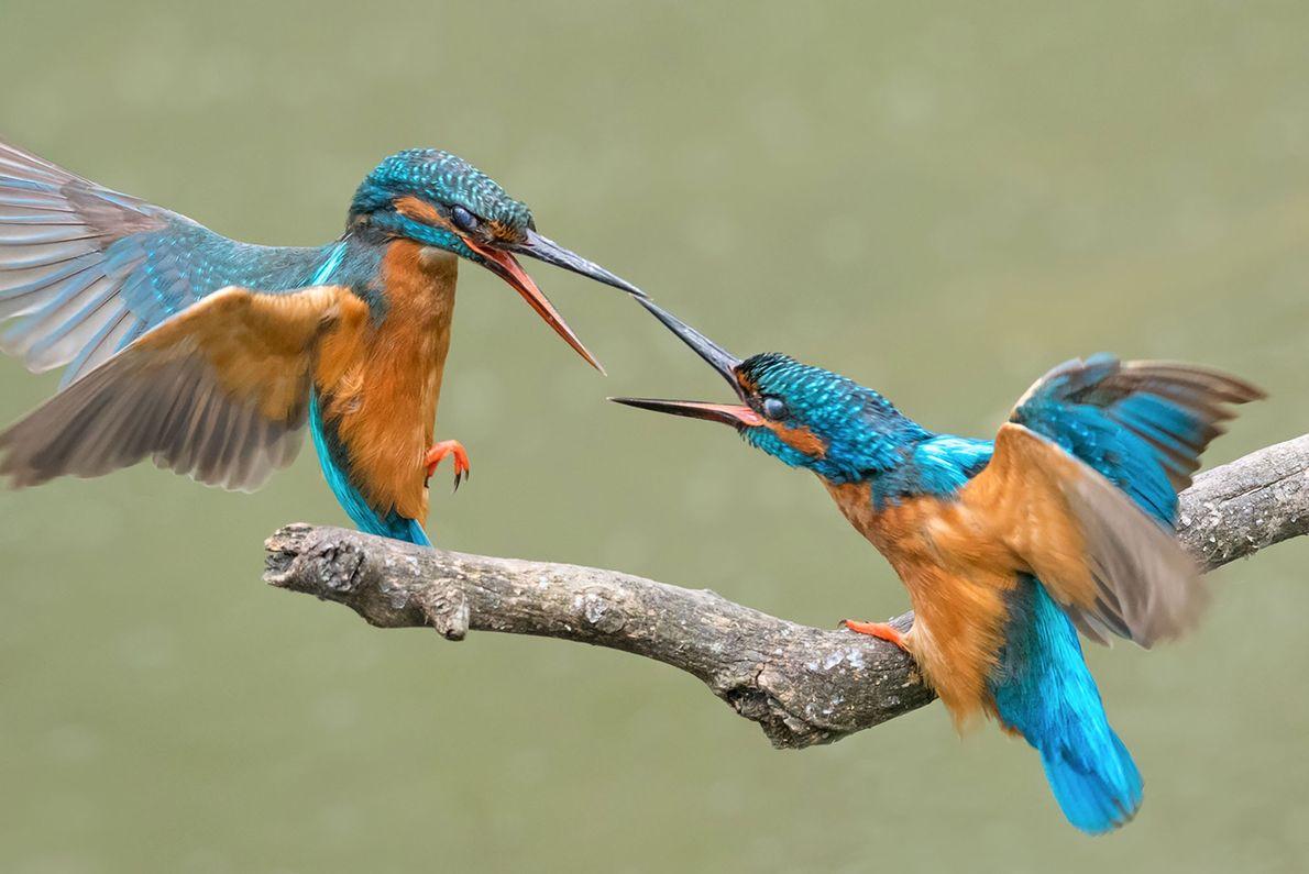 Zwei Eisvögel streiten