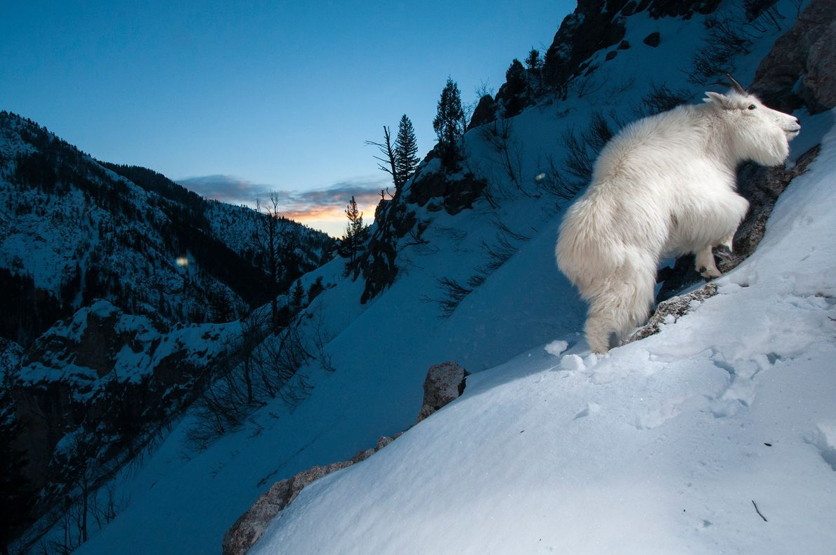 Eine Schneeziege erklimmt im Yellowstone-Nationalpark in den USA einen verschneiten Hang und löst dabei eine Kamerafalle ...