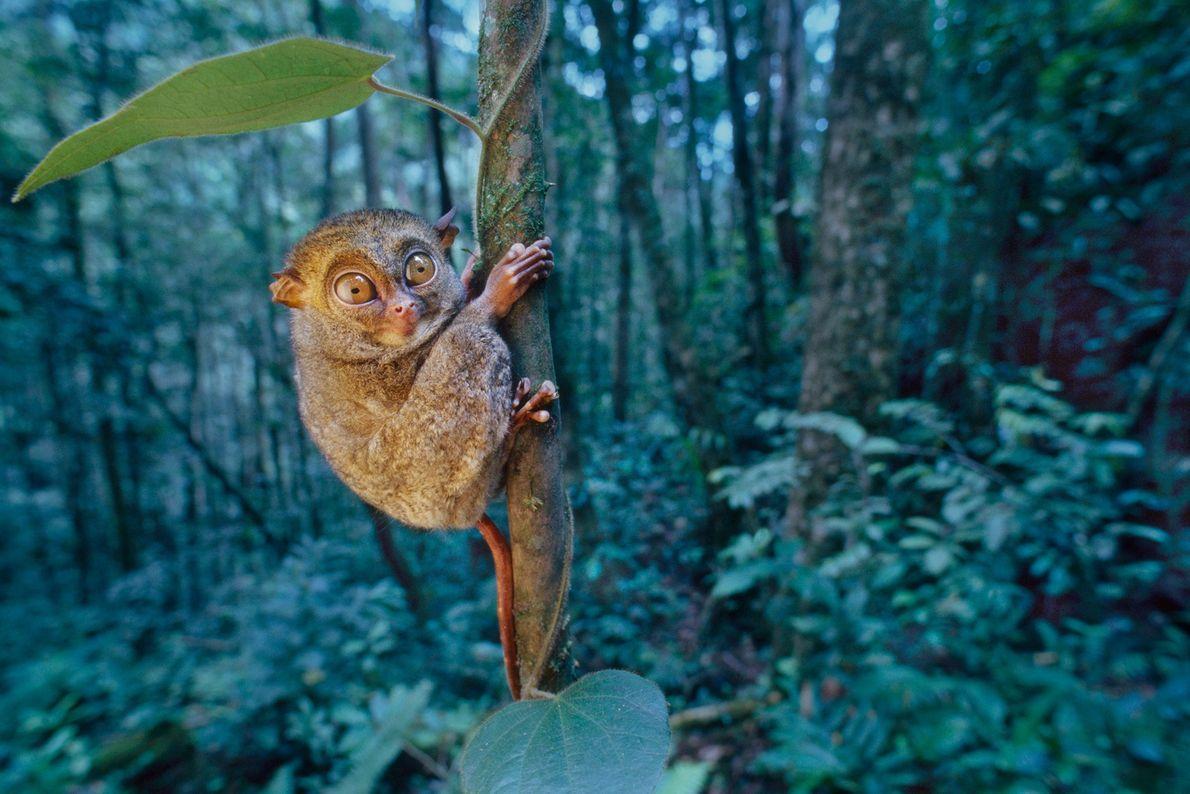 Ein Sunda-Koboldmaki hält sich auf der Insel Borneo im malaysischen Bundesstaat Sabah an einem Baum fest.