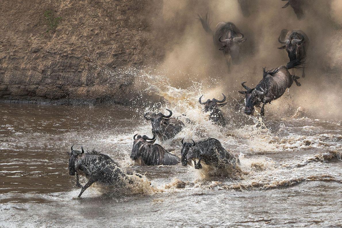 Gnus. Masai Mara, Großer Afrikanischer Grabenbruch, Kenia.