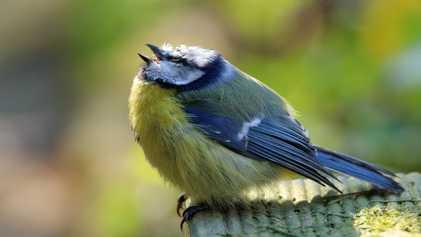 Mysteriöses Meisensterben alarmiert Vogelschützer