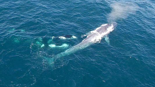 Orkas greifen einen Blauwal an