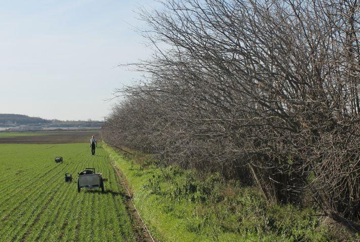 Haselhecke bei Nienburg in Sachsen-Anhalt: Nur Neupflanzungen haben einen positiven Klimaeffekt.