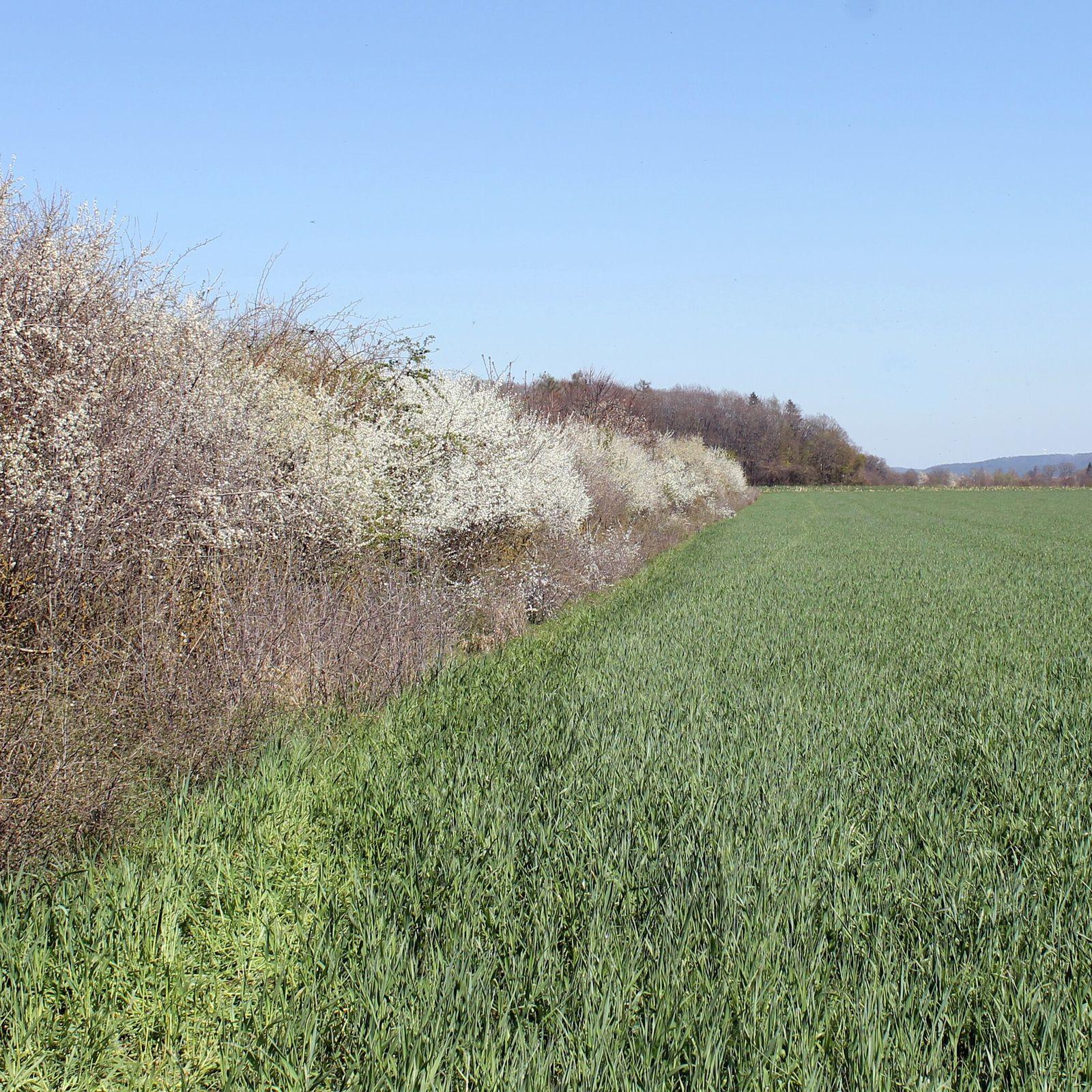 Blühende Schlehenhecke bei Leidendorf in Bayern: Millionen Tonnen an Kohlendioxid könnten klimaunschädlich gemacht werden.