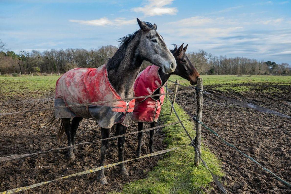 Zwei Selle Français – eine Sportpferderasse aus Frankreich –, fotografiert auf dem Bauernhof Kerser in Bazas, ...