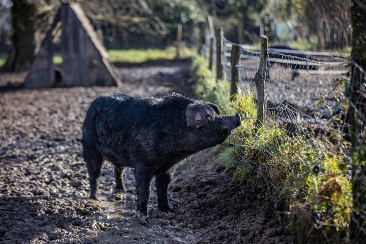 Gascon-Schweine