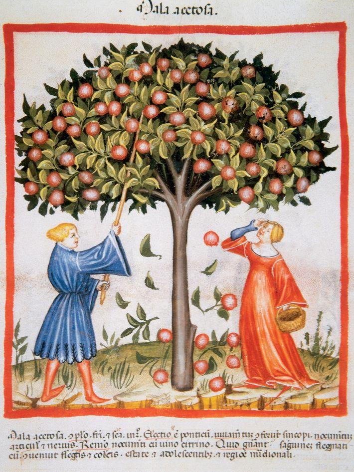 Tacuinum Sanitatis - Ernte saurer Äpfel