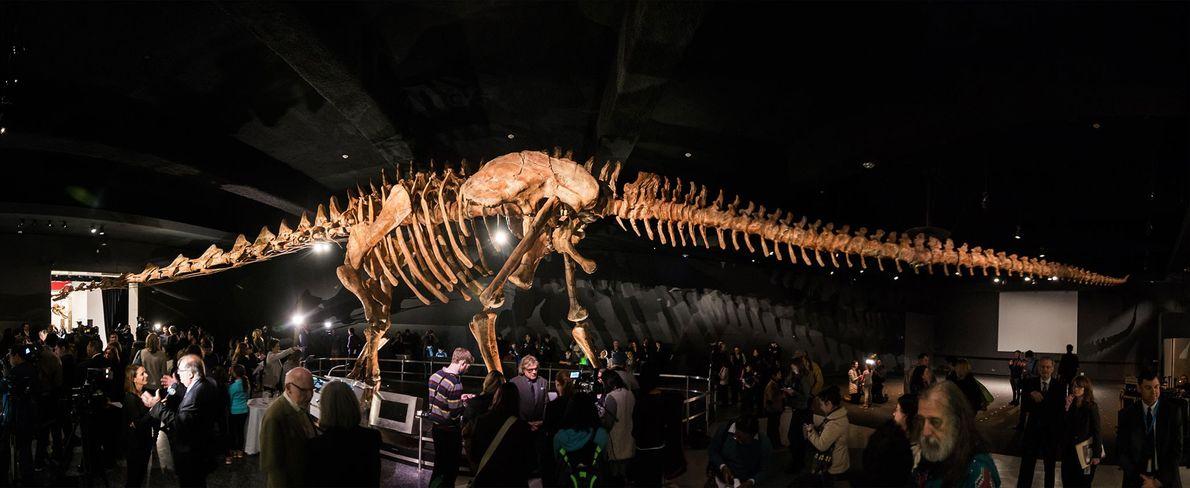 Dieses Panorama, das aus mehreren Aufnahmen zusammengesetzt wurde, zeigt die Rekonstruktion eines gewaltigen Titanosauriers im American ...