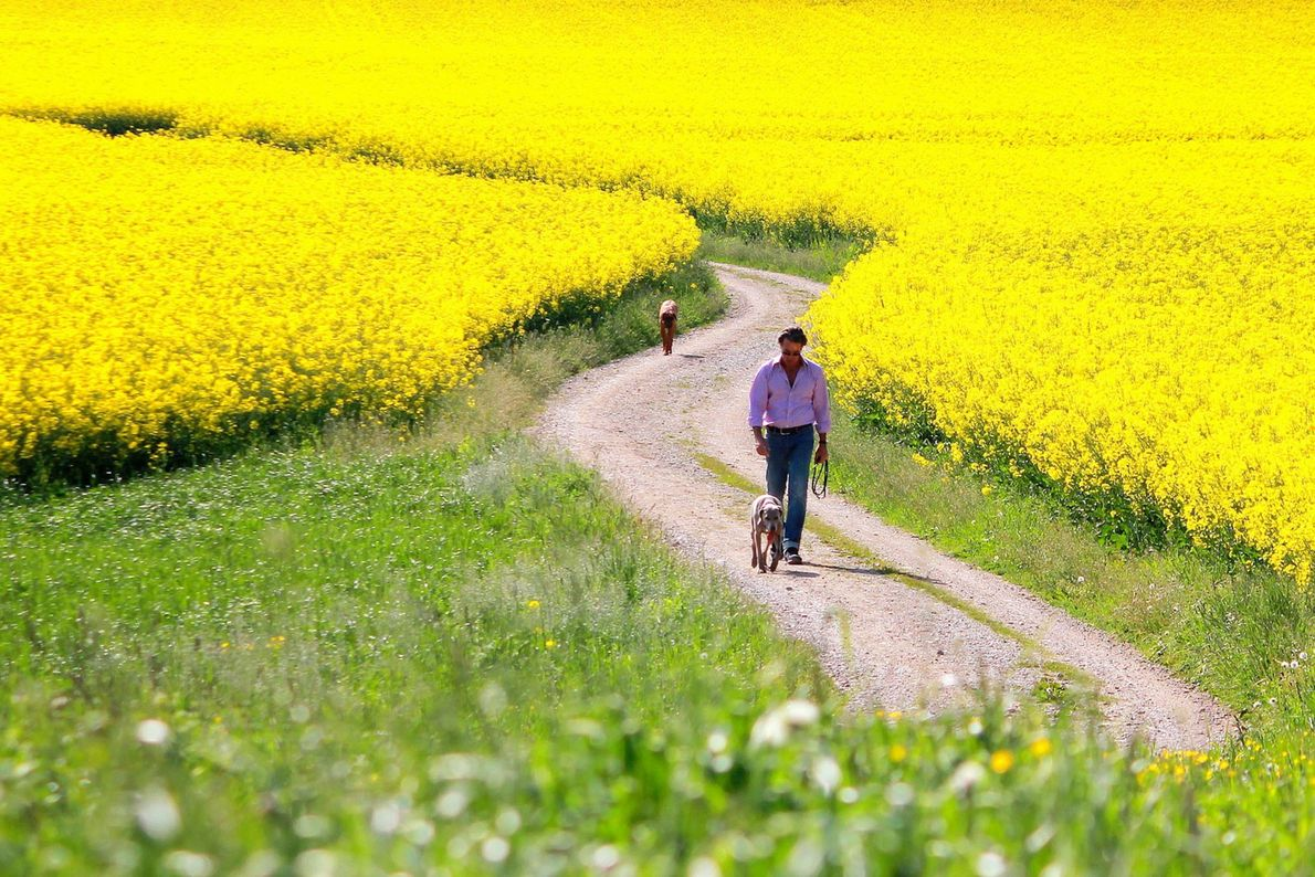 Gelbe Blumenfelder