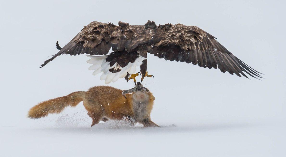 Ein Seeadler versucht, einem Rotfuchs die Beute zu stehlen. Dieser Zusammenstoß ereignete sich auf dem gefrorenen ...