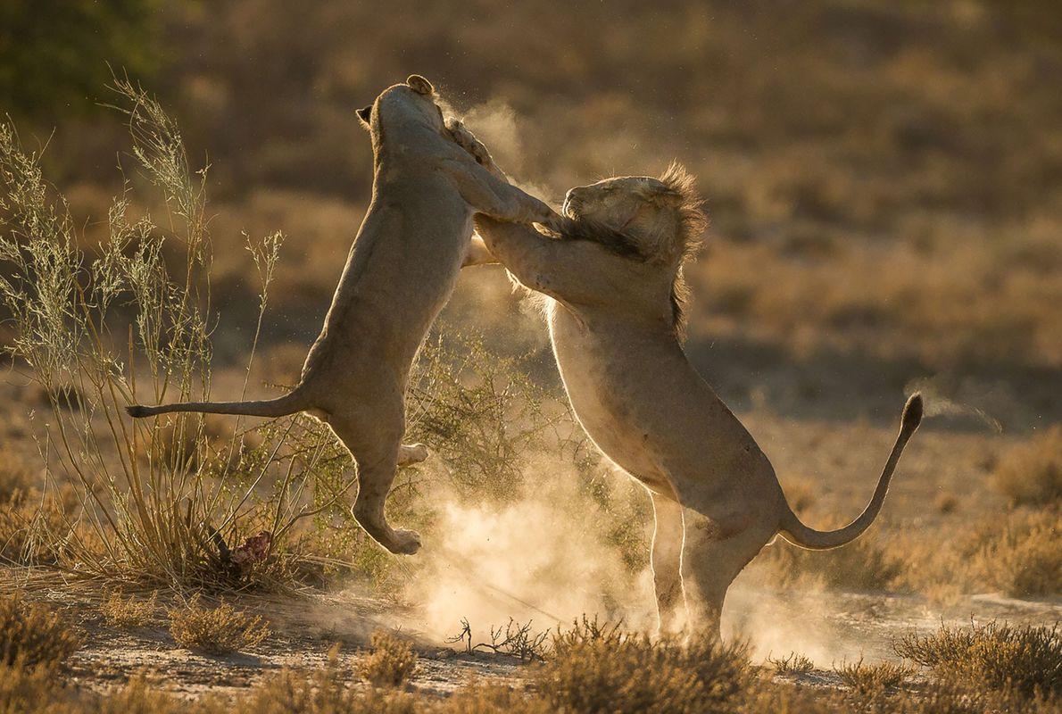 Zwei kämpfende Löwen