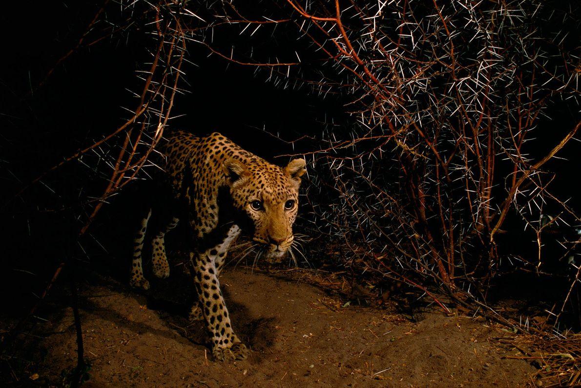 Ein Leopard, Panthera pardus, läuft im Chobe-Nationalpark in Botswana durch Dornengestrüpp.