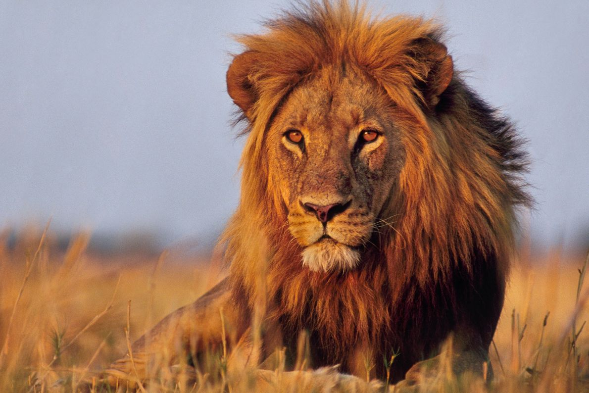 Im Okavangodelta liegt ein Löwe im Gras.