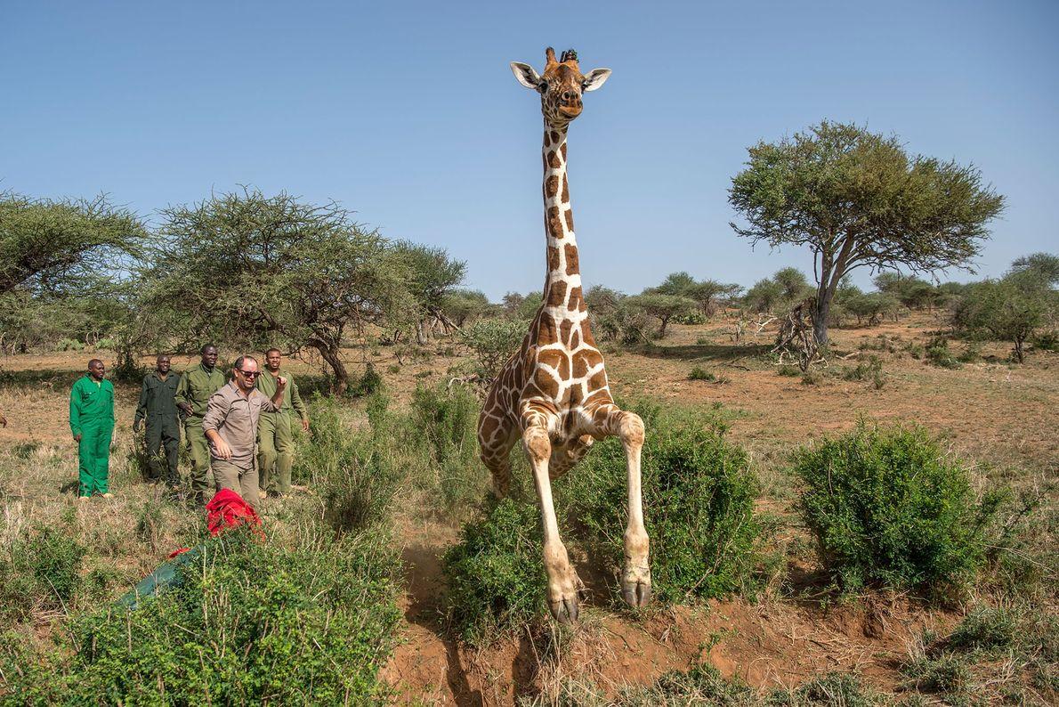 Die Giraffe wird freigelassen