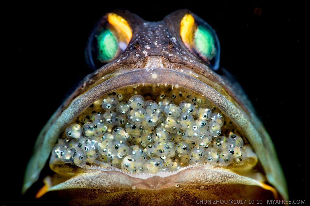 Kieferfisch.