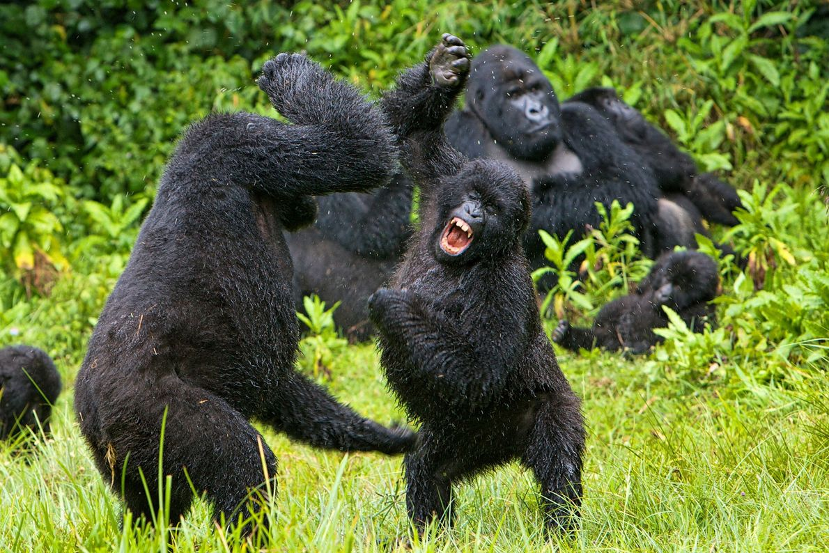 Zwei raufende Gorillas