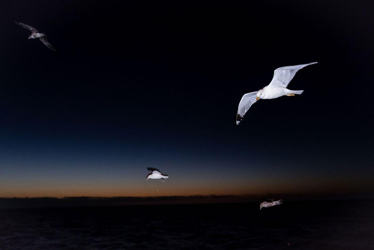 Gelbfußmöwen beim nächtlichen Flug über die San Ignacio Lagoon in Mexiko.