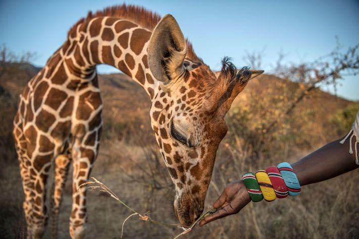 Eine verwaiste Giraffe wird gefüttert
