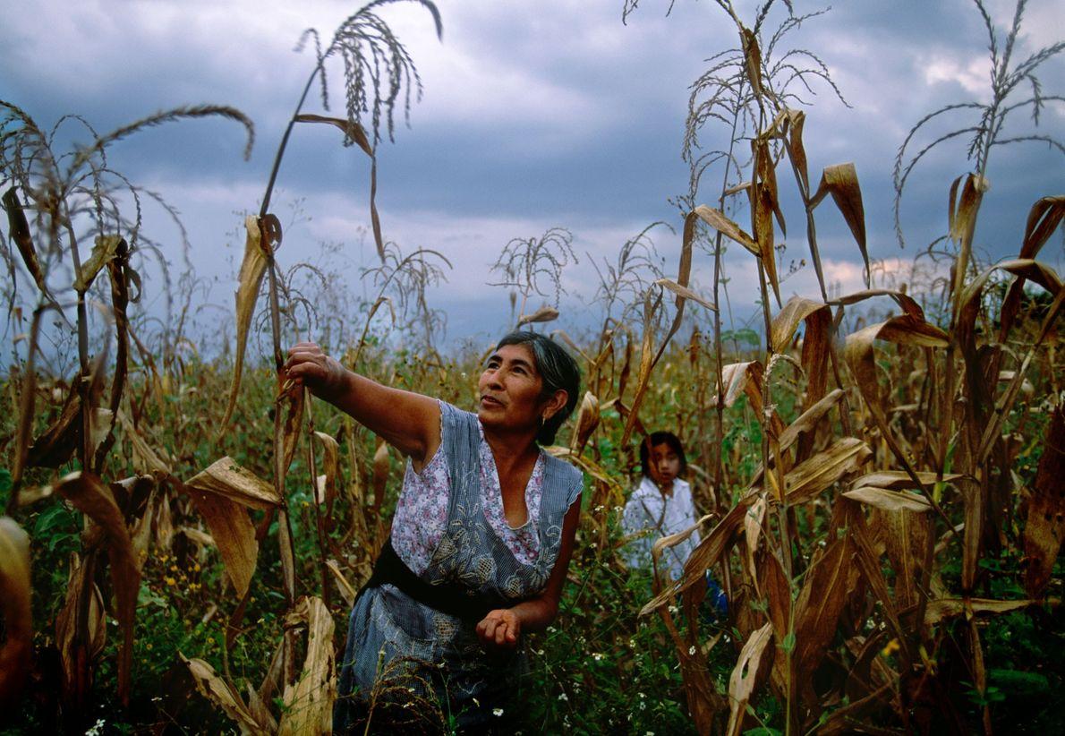 In einem Maisfeld in San Bartolo Coyotepex in Mexiko sammeln eine Großmutter und ihre Enkelin zusammen ...