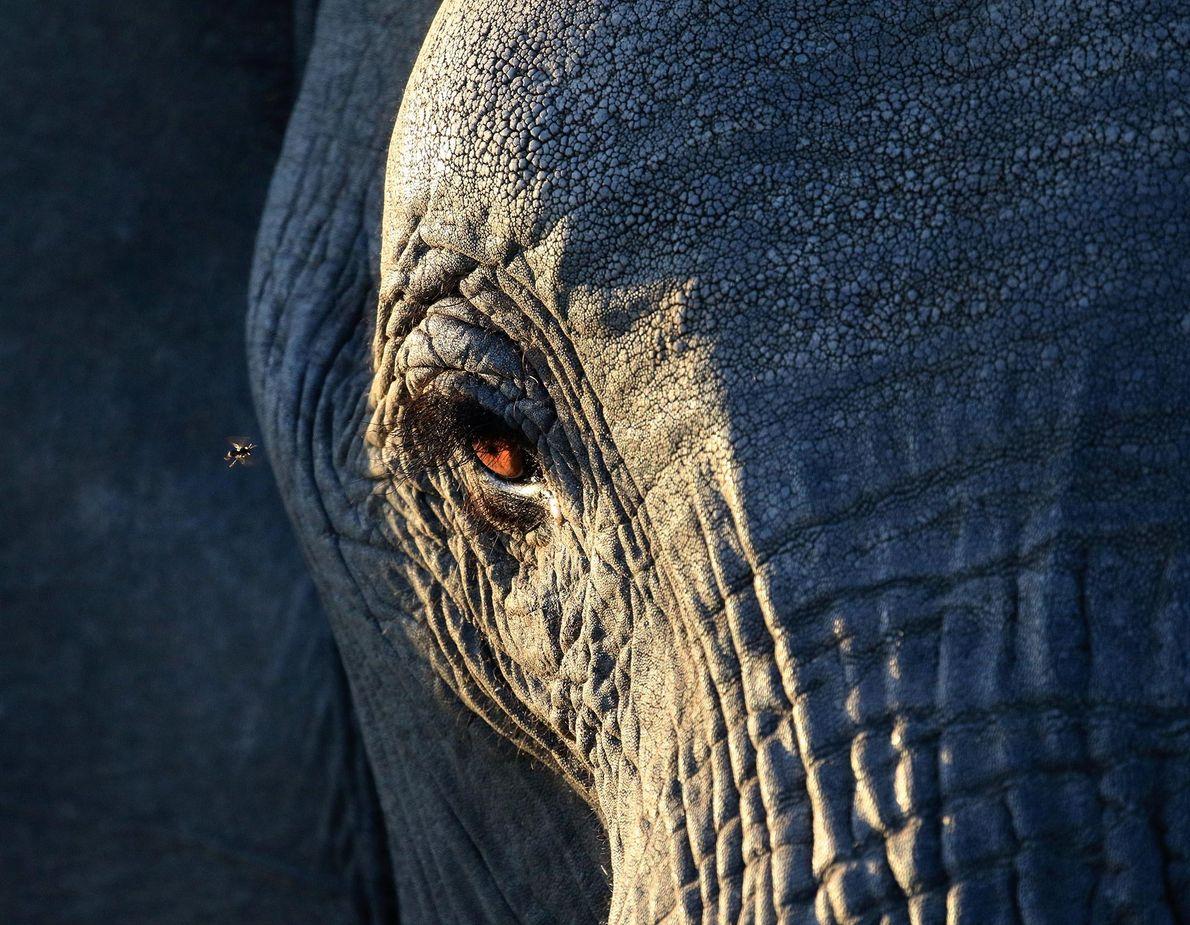 Elefant. Chief Thomas, Matabeleland North, Simbabwe