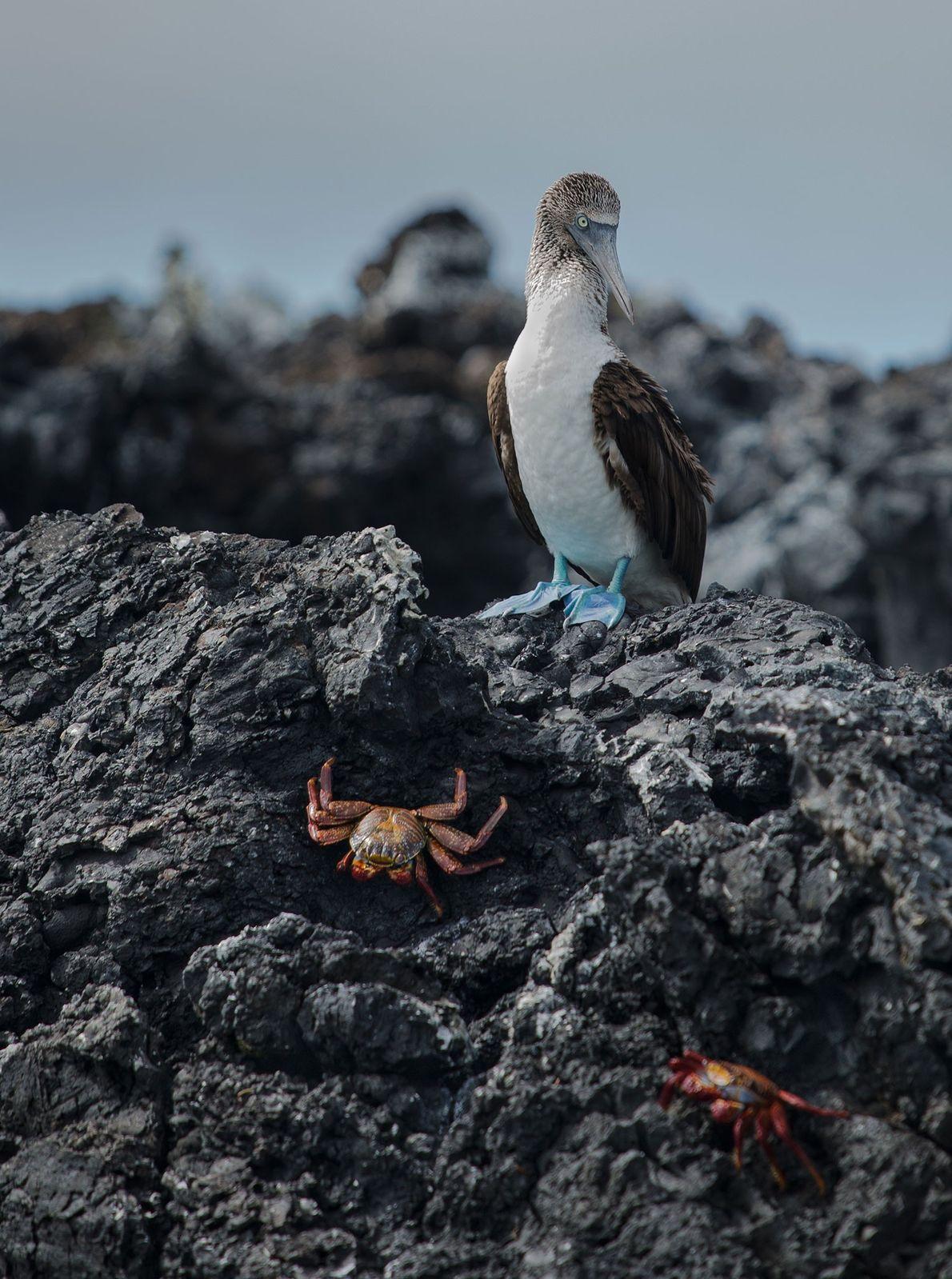 Blaufußtölpel. San Cristobal, Galapagosinseln, Ecuador.