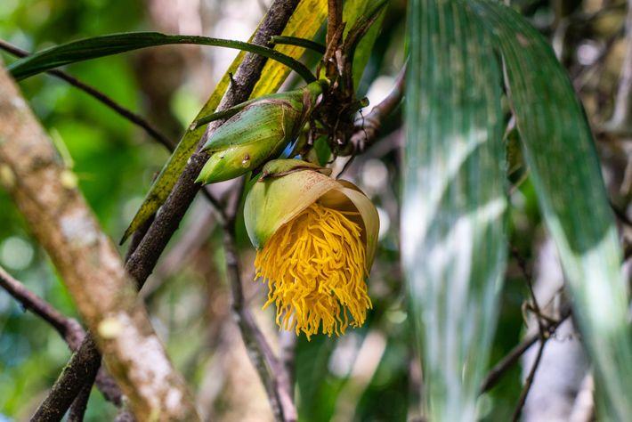 Diese auffallende Blüte gehört einer Kletterpflanze namens Thoracocarpus bissectus.