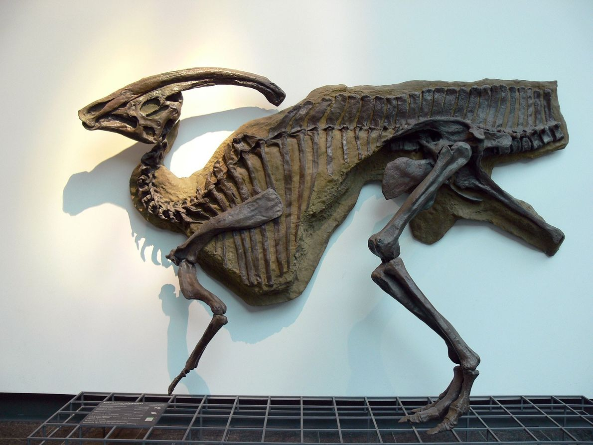 Dieser Abguss des Hadrosauriers Parasaurolophus walkeri wird im Senckenberg Naturmuseum in Frankfurt ausgestellt. Der Nasengang und ...