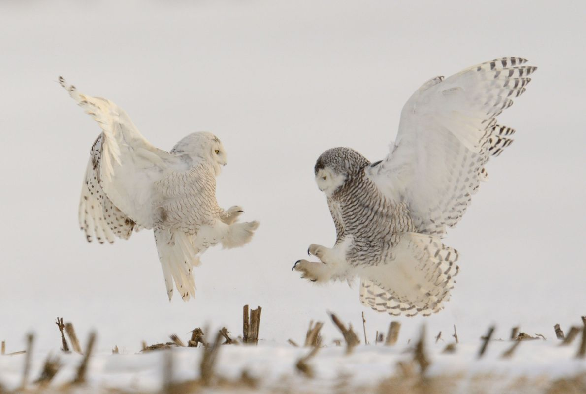 Kämpfende Schnee-Eulen