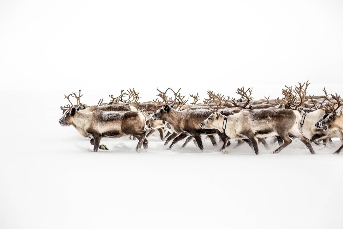 Sami-Rentierhirten in Schweden