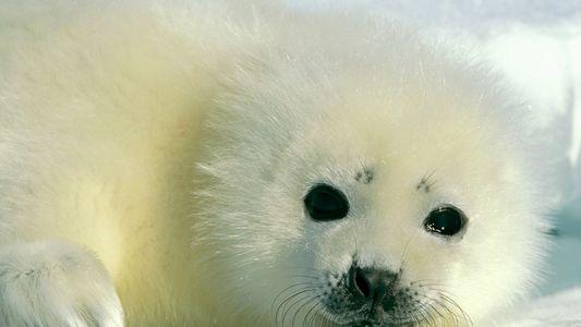 Galerie: 10 faszinierende Aufnahmen von Robben