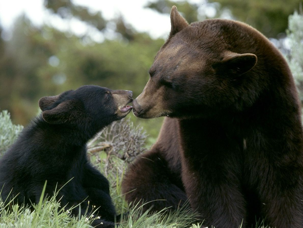 Schwarzbärenmütter sind berüchtigt dafür, ihren Nachwuchs energisch zu verteidigen. Die kleinen Bären bleiben etwa zwei Jahre …