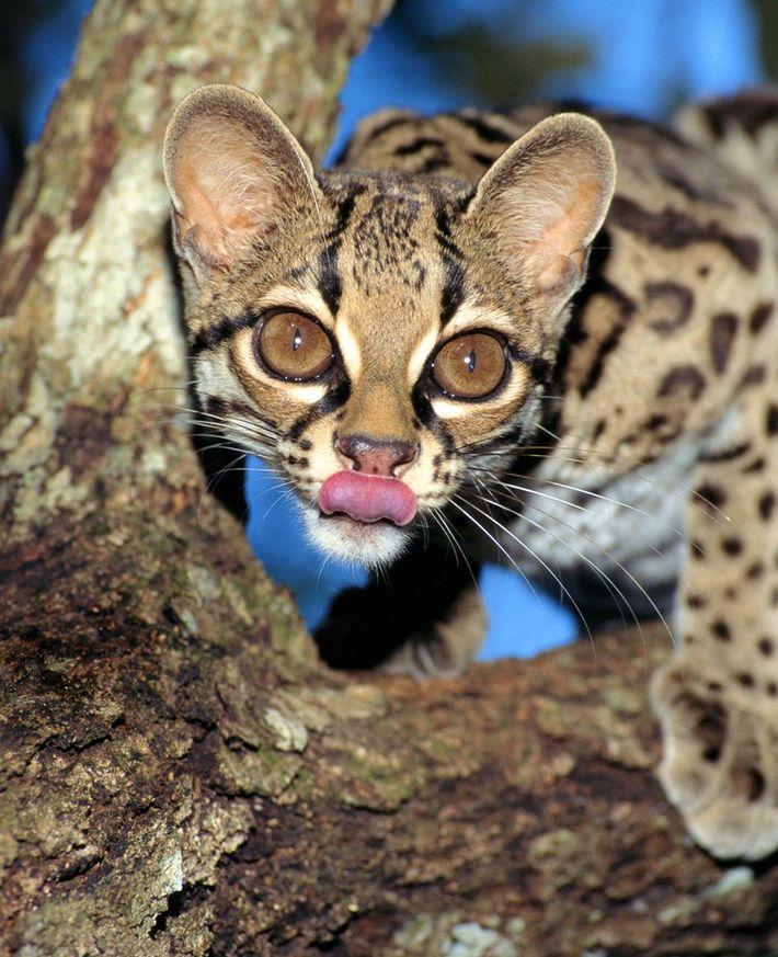 cat imitating prey monkey margay