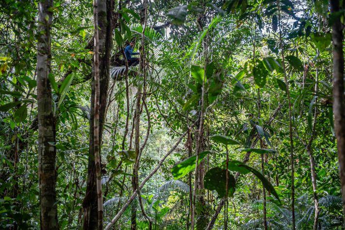 Ein Wissenschaftler des Teams sucht im Blätterdach nach Tieren.