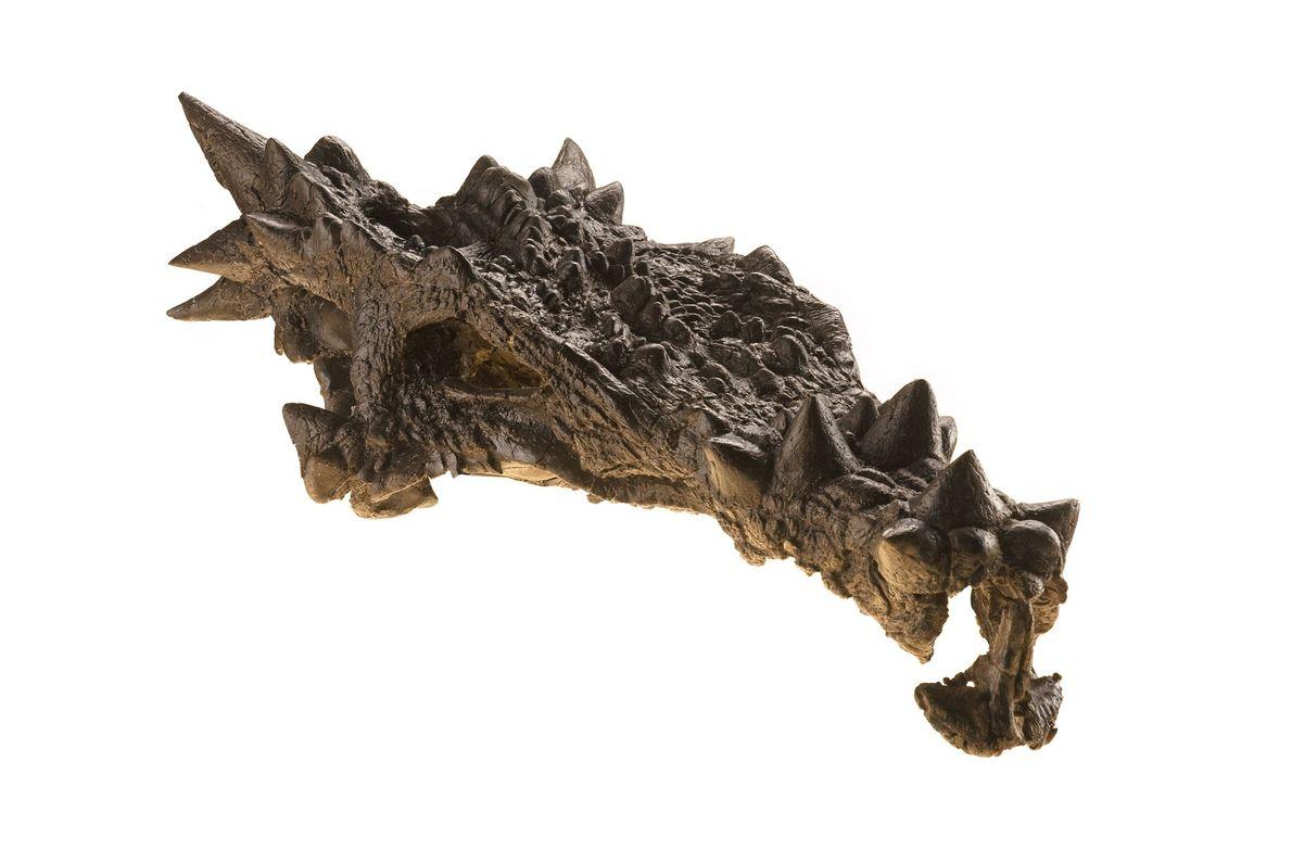 Dieser Dinosaurier, der 2007 auf der Titelseite der Dezemberausgabe des National Geographic-Magazins zu sehen war, wurde ...