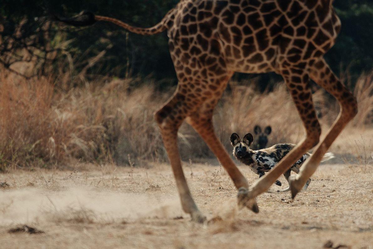 Der derzeitige Bestand Afrikanischer Wildhunde wurde auf etwa 6.600 Tiere geschätzt, von denen aber nur 1.400 ...