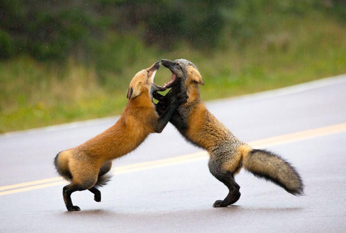 Zwei kämpfende Rotfüchse