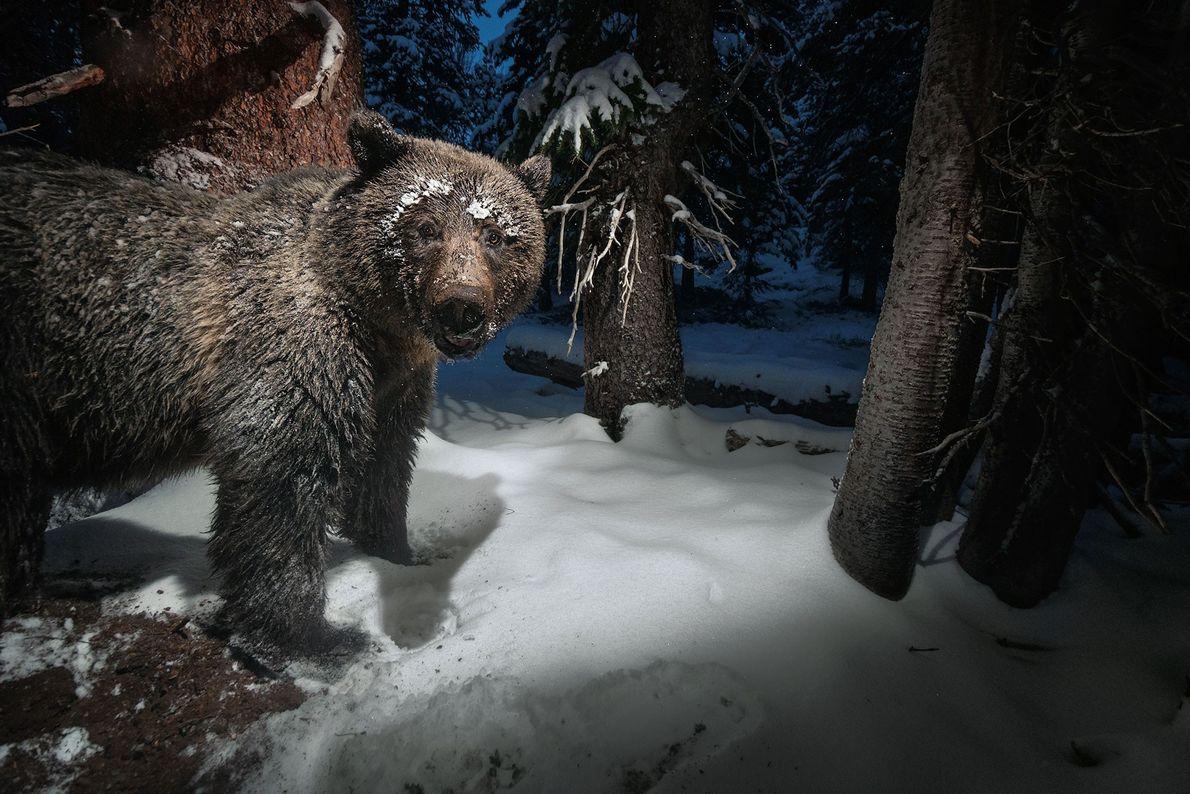Eine Kamerafalle nimmt nahe des Yellowstone-Nationalparks einen Grizzlybären auf, der Samen einer Weißstämmigen Kiefer aus dem ...