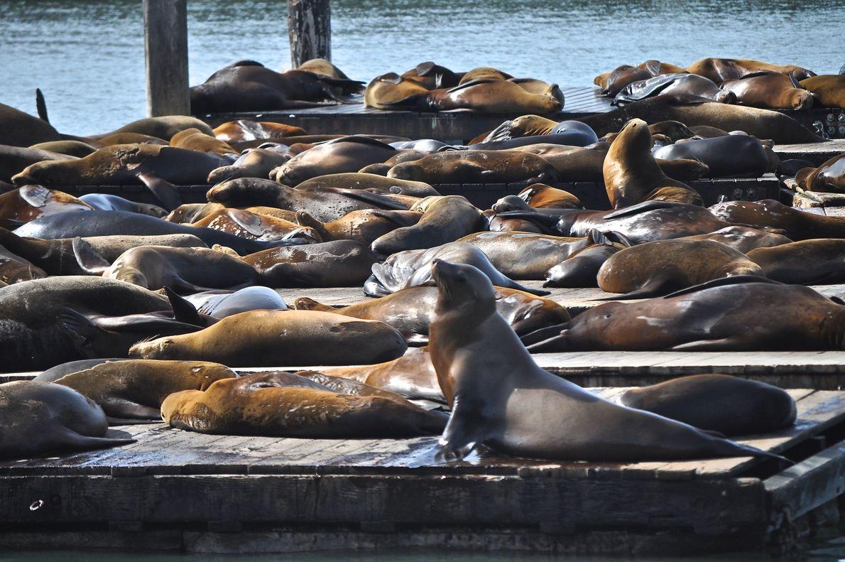 Seelöwen. San Francisco, Kalifornien, USA.