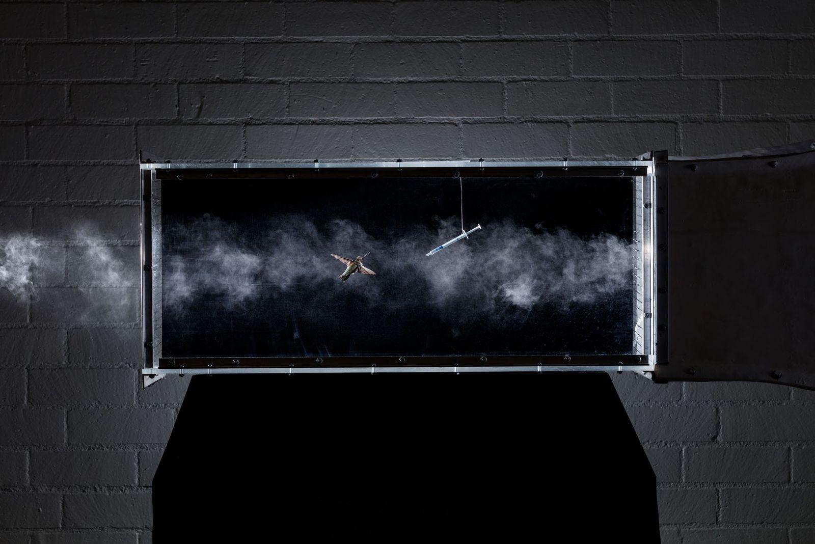 Kolibris in einem Windtunnel fliegen zu lassen, erlaubt es Wissenschaftlern, die Mechanik des Flugs bei einer ...