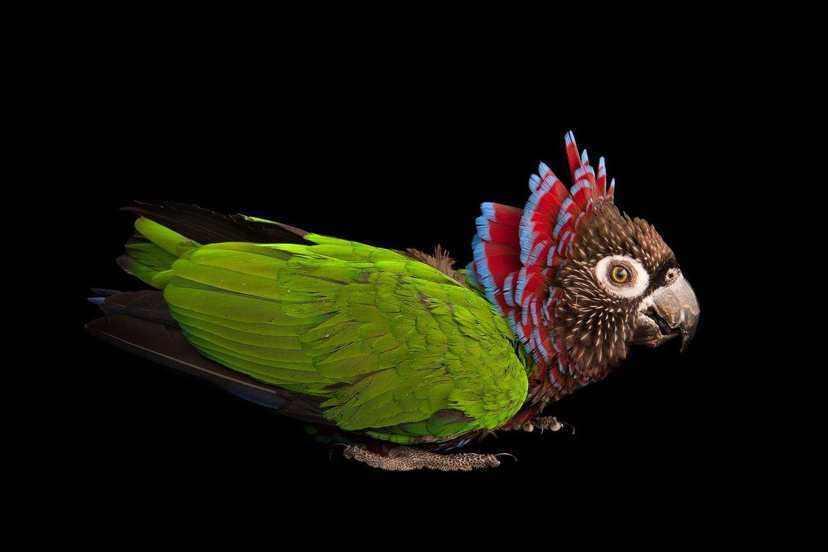 Brasilianischer Fächerpapagei. Rare Species Conservatory Foundation, Florida, USA