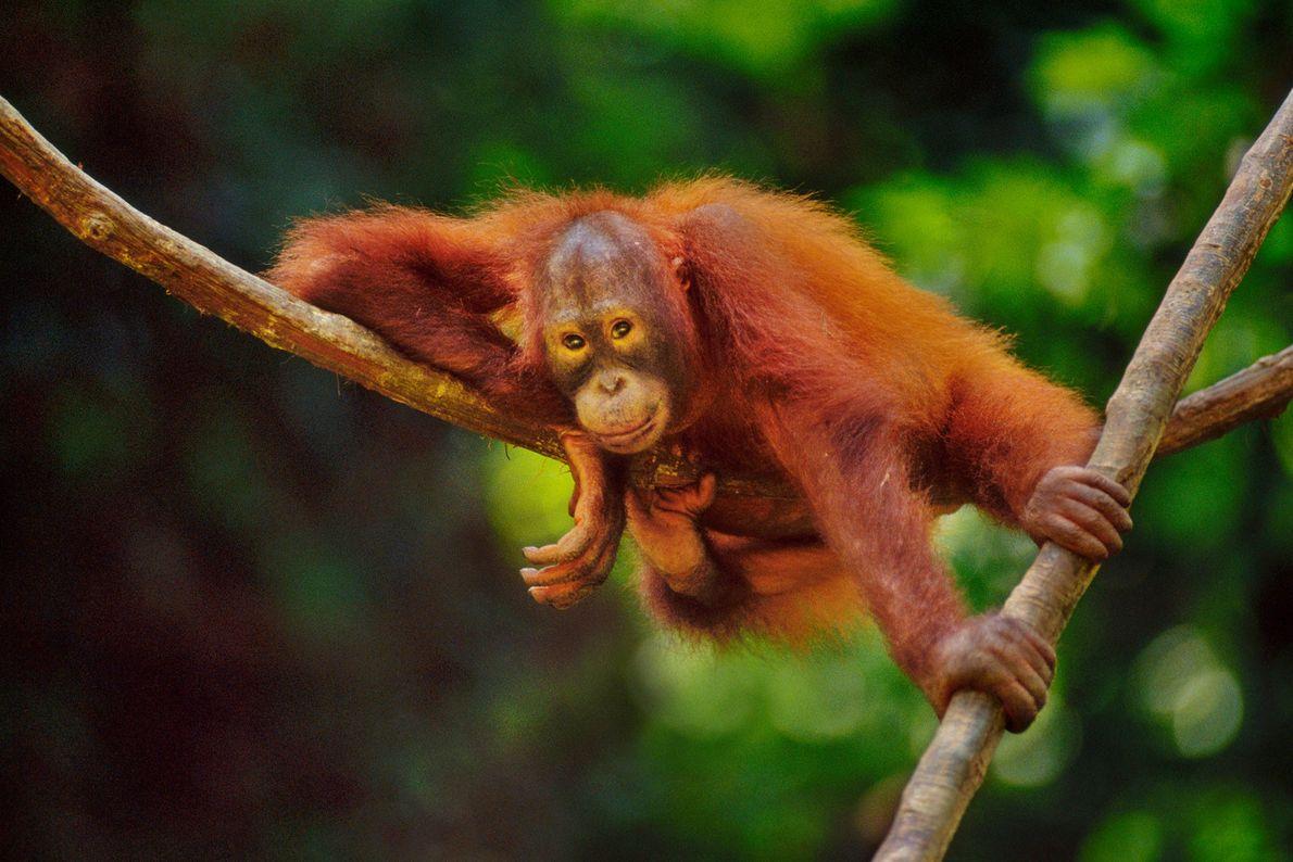 Ein Borneo-Orang-Utan ruht sich im Sepilok Reserve auf Borneo auf einer dicken Liane aus.