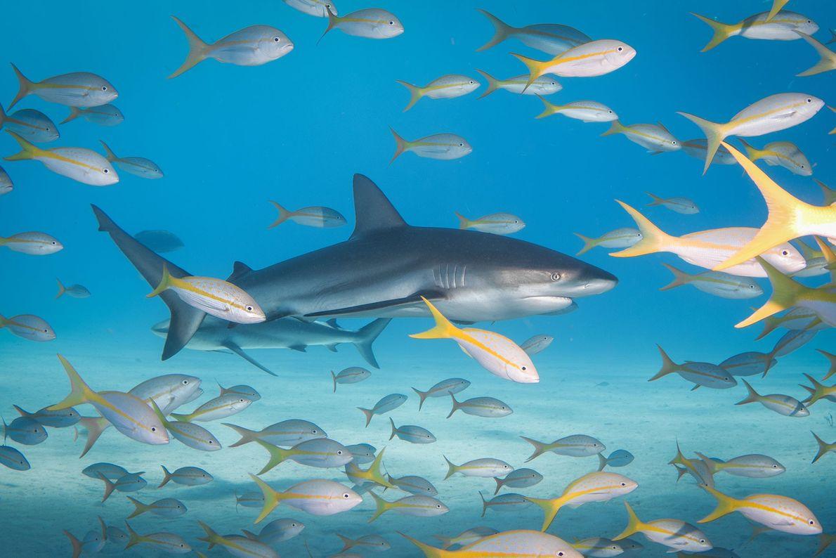 Riffhaie und Gelbschwanz-Schnapper. Bahamas.