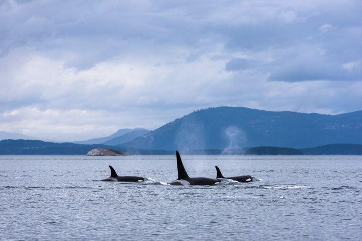 Orcas halten sich das ganze Jahr über in den fischreichen Gewässern vor der Küste von British ...
