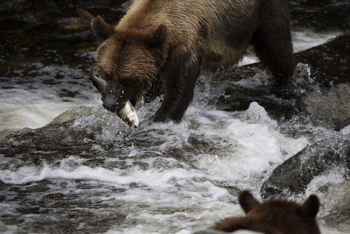 Buchen Sie auf Vancouver Island einen einzigartigen Wildbeobachtungstrip von Campbell River aus, mit Übernachtung in der ...
