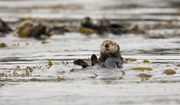 Ein Seeotter bei Spring Island nahe Kyuquot Sound. Es leben in etwa 5.000 Seeotter in British ...