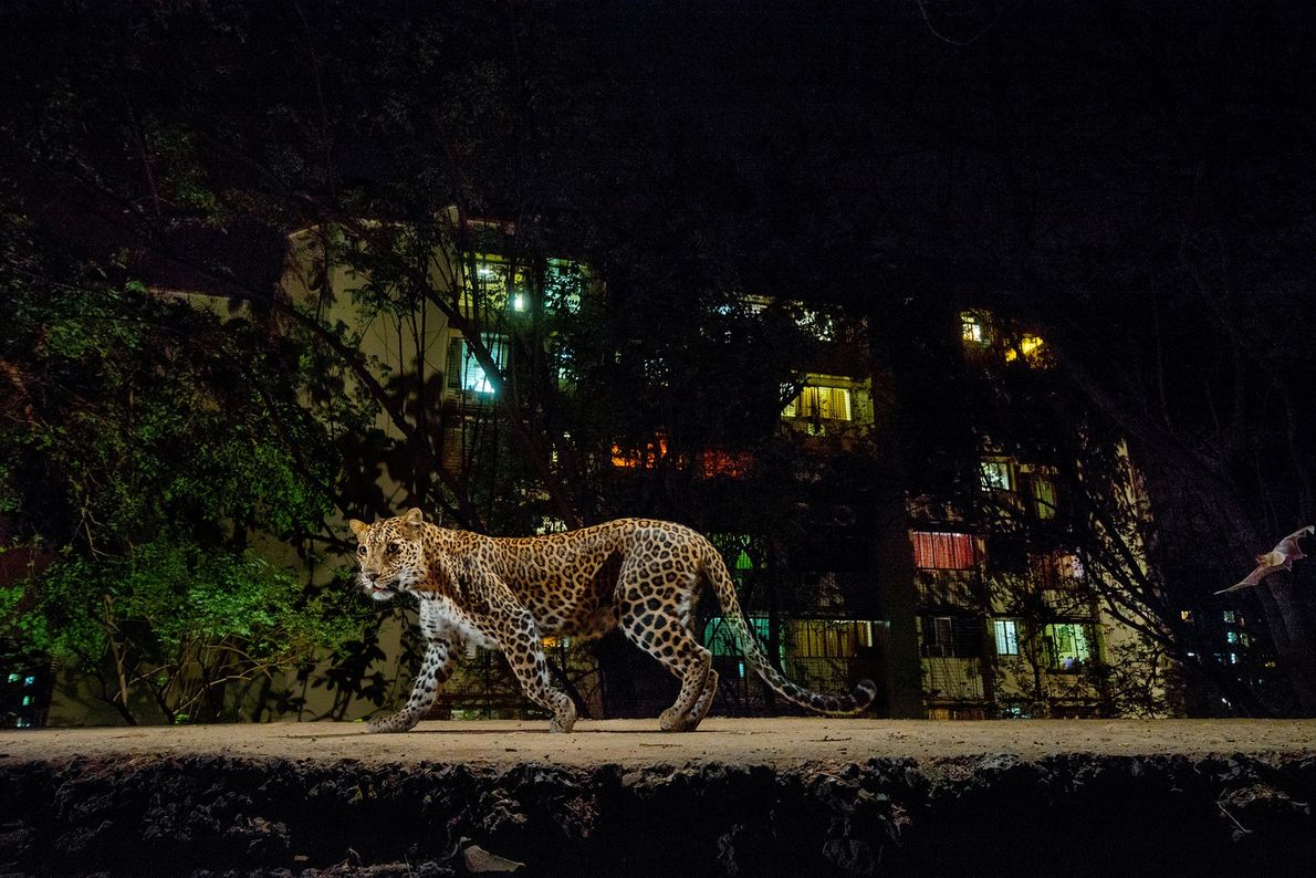Am Rande des Sanjay-Gandhi-Nationalparks in Mumbai wirft der Blitz einer Kamerafalle sein Licht auf einen Leoparden.