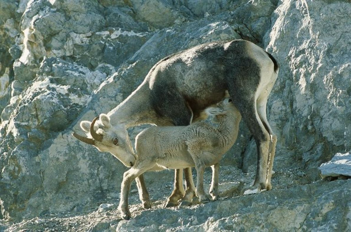 Dall-Schaf